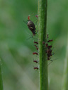 an aphid (aphidoidea ) and (supposedly) its young.