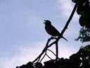 singing songbird. 2007-05-26, Sony F828. keywords: silhouette, shadow, blue sky, singing bird