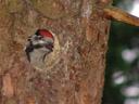 buntspecht-jungvogel (dendrocopos major) || foto details: 2007-06-03, rum, austria, Sony F828.