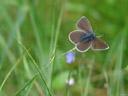 a gossamer-winged butterfly (lycaenidae)