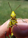 tooth-legged grasshopper (arcyptera fusca), frontal