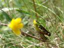 tooth-legged grasshopper (arcyptera fusca). 2007-06-09, Sony F828. keywords: neoptera, caelifera, acrididae, gomphocerinae, red-legged cricket, pallas' grasshopper