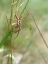 nursery web spider (pisaura mirabilis) with egg sac. 2007-06-09, Sony F828. keywords: lycosoidea, pisauridae, raubspinne, brautgeschenkspinne