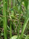 wart-biter (decticus verrucivorus). 2007-06-09, Sony F828. keywords: tettigoniidae, decticinae