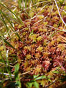 red peat moss (sphagnum sp.)
