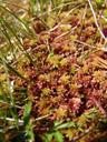 red peat moss (sphagnum sp.). 2007-06-10, Sony F828. keywords: sphagnidae, sphagnopsida, sphagnales, sphagnaceae