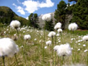 hare's-tail cottongrass (eriophorum vaginatum)