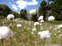 hare's-tail cottongrass (eriophorum vaginatum)