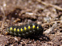 black-and-yellow caterpillar