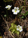 alpine butterwort (pinguicula alpina)