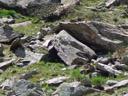 two alpine marmots (marmota marmota). 2007-06-10, Sony F828. keywords: alpenmurmeltier, murmeltier, mörmelanimal