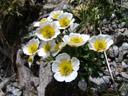 glacier buttercup (ranunculus glacialis). 2007-06-10, Sony F828. keywords: ranunculaceae, glacier crowfoot, issoleie, jaskier lodnikowy, isranunkel