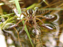 raft spider (dolomedes fimbriatus). 2007-06-11, Sony F828. keywords: pisauridae, listspinne