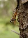 a snipe fly (rhagionidae). 2007-06-11, Sony F828. keywords: brachycera, tabanomorpha