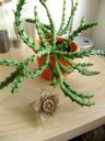 aasblume (orbea variegata) mit blüte || foto details: 2007-06-21, rum, austria, Sony F828. keywords: apocynaceae, asclepiadoideae, stapelia variegata, ordensstern, kokardenblume,