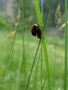 garden chafers (phyllopertha horticola) mating. 2007-06-08, Sony F828.