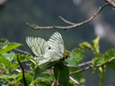 baum-weisslinge (aporia crataegi) bei der paarung || foto details: 2007-06-08, ötz, austria, Sony F828.