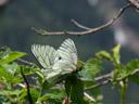 black-veined whites (aporia crataegi) mating. 2007-06-08, Sony F828.