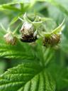 käfer (coleoptera) bei der paarung || foto details: 2007-06-08, piburg, austria, Sony F828.