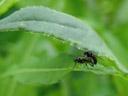 stubenfliegen (musa domestica) bei der paarung || foto details: 2007-06-13, schneiderau, austria, Sony F828. keywords: housefly, stubenfliege,