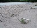 deutsche tamariske (myricaria germanica), jungpflanze m. grössenvergleich || foto details: 2007-07-20, inn river, serfaus, austria, Sony F828. keywords: tamaricaceae, rispelstrauch