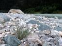deutsche tamariske (myricaria germanica), jungpflanze || foto details: 2007-07-20, inn river, serfaus, austria, Sony F828. keywords: tamaricaceae, rispelstrauch