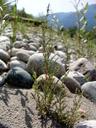 deutsche tamariske (myricaria germanica), jungpflanzen, junge weiden (salix sp.) im hintergrund || foto details: 2007-08-02, inn river, telfs, austria, Sony F828. keywords: tamaricaceae, rispelstrauch