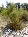 deutsche tamariske (myricaria germanica), strauch mit grössenvergleich (A4) || foto details: 2007-08-02, inn river, telfs, austria, Sony F828. keywords: tamaricaceae, rispelstrauch