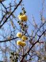 candle thorn acacia (acacia hebeclada), flowers. 2007-09-01, Sony F828. keywords: trassiebos