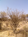 blackthorn acacia (acacia mellifera), habitus. 2007-09-01, Sony F828. keywords: swaarthaak