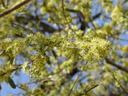 shepherd's tree (boscia albitrunca), flowers. 2007-09-01, Sony F828. keywords: witgatboom, matoppie, capparaceae