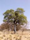 shepherd's tree (boscia albitrunca), habitus. 2007-09-01, Sony F828. keywords: witgatboom, matoppie, capparaceae