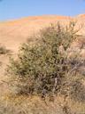 smelly shepherd's tree (boscia foetida), habitus. 2007-09-01, Sony F828. keywords: stinkbusch, schäferbaum, capparaceae, bushveld shepherds tree