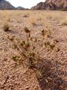 blepharis gigantea, habitus. 2007-09-01, Sony F828. keywords: acanthaceae