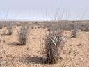 parched. 2007-09-02, Sony F828. keywords: sere, sear, parched, desiccated, grass, vertrocknet, ausgetrocknet, gras, wüste, savanne, steppe, desert, savannah