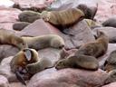 cape fur seals (arctocephalus pusillus ssp. pusillus). 2007-09-02, Sony F828. keywords: kaap kruis, kreuzkap