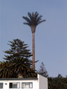 a cell phone tower camouflaged as a palm tree. 2007-09-02, Sony F828.