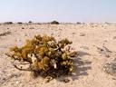 talerbusch (zygophyllum stapfii), habitus || foto details: 2007-09-02, namibia, Sony F828. keywords: talerpflanze, dollar plant
