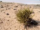 bleistiftbusch (arthraerua leubnitziae), habitus || foto details: 2007-09-02, namibia, Sony F828. keywords: amaranthaceae