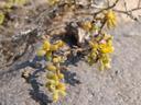 zygophyllum simplex, detail und blüte || foto details: 2007-09-02, namibia, Sony F828. keywords: zygophyllaceae