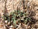 namib tsammas (citrullus ecirrhosus) || foto details: 2007-09-02, namibia, Sony F828. keywords: wüsten tsammas, namid tsamma, woestyntsamma, tsamas