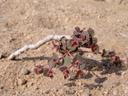 bunte wolfsmilch (euphorbia phylloclada) || foto details: 2007-09-02, namibia, Sony F828. keywords: bontmelkbos