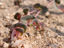 bunte wolfsmilch (euphorbia phylloclada), detail und blüte || foto details: 2007-09-02, namibia, Sony F828. keywords: bontmelkbos