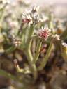 bleistiftbusch (arthraerua leubnitziae), blüten || foto details: 2007-09-02, namibia, Sony F828. keywords: amaranthaceae