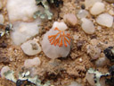 winziges exemplar von caloplaca elegans || foto details: 2007-09-02, near cape cross, namibia, Sony F828.