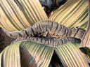 meristemleiste mit zwei (zerschlitzten) blättern || foto details: 2007-09-03, welwitschia plains, namibia, Sony F828. keywords: welwitschiaceae, welwitschia mirabilis