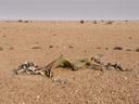 baby welwitschia (welwitschia mirabilis). 2007-09-03, Sony F828. keywords: welwitschiaceae, welwitschia mirabilis