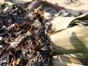 weibl. blütenstände (verblüht) von welwitschia mirabilis || foto details: 2007-09-03, welwitschia plains, namibia, Sony F828. keywords: welwitschiaceae, welwitschia mirabilis