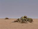 welwitschia (welwitschia mirabilis). 2007-09-03, Sony F828. keywords: welwitschiaceae, welwitschia mirabilis