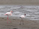 adult and juvenile greater flamingos (phoenicopterus roseus) - young ones are black-and-white. 2007-09-03, Sony F828.